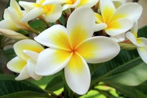 Frangipanier_fleur_tropicale_guasdeloupe_moule_shambala_lodge